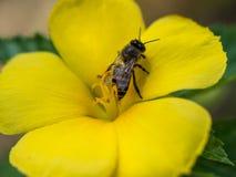 Abeja que sube en la flor amarilla Imagenes de archivo