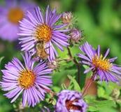 Abeja que toma el néctar de un Wildflower Fotografía de archivo libre de regalías