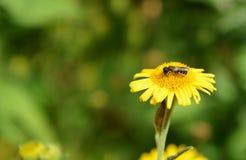 Abeja que toma el néctar de una flor del fleabane Fotografía de archivo