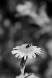 Abeja que toma el néctar de una flor del fleabane Fotos de archivo