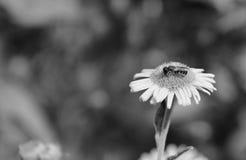 Abeja que toma el néctar de una flor del fleabane Fotos de archivo libres de regalías