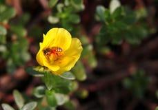 Abeja que toma el néctar del Purslane amarillo de Wingpod Fotos de archivo