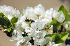 Abeja que toma el polen del flor blanco de la manzana Foto de archivo