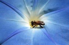 Abeja que toma la miel Fotos de archivo