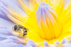 Abeja que trabaja difícilmente recogiendo el polen Fotos de archivo libres de regalías