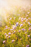 Abeja que trabaja en el campo de flores Fotografía de archivo libre de regalías