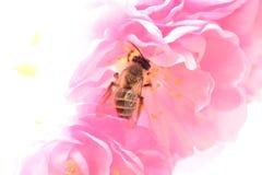 Abeja que trabaja en el flor del melocotón Fotos de archivo