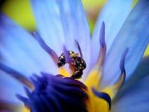 abeja que trabaja en el polen del loto Foto de archivo libre de regalías