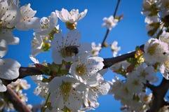 Abeja que trabaja en flor del melocotón Imágenes de archivo libres de regalías