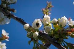 Abeja que trabaja en flor del melocotón Fotos de archivo