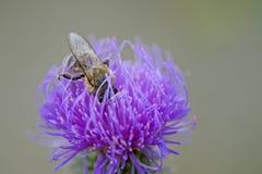 Abeja que trabaja en flor púrpura Imagenes de archivo