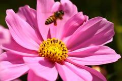 Abeja que trabaja en la flor Imagenes de archivo