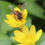 Abeja que trabaja en la flor amarilla Fotos de archivo libres de regalías