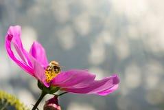 Abeja que trabaja en la flor blanca del cosmos Foto de archivo libre de regalías