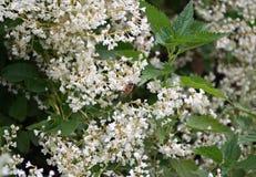 Abeja que trabaja en las flores blancas de la planta que suben Imágenes de archivo libres de regalías