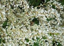 Abeja que trabaja en las flores blancas de la planta que suben Fotografía de archivo libre de regalías