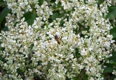 Abeja que trabaja en las flores blancas de la planta que suben Fotografía de archivo