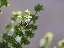 Abeja que trabaja en una flor de la albahaca Fotos de archivo libres de regalías