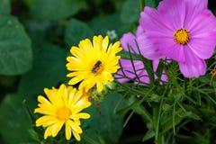 Abeja que trabaja en una flor salvaje amarilla Imagenes de archivo