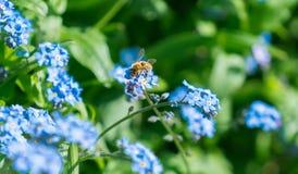 Abeja que trabaja las flores del azul Imagen de archivo