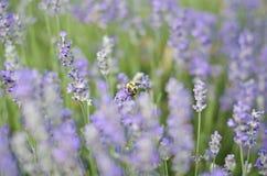 Abeja que trabaja un campo de flores Imagen de archivo libre de regalías