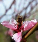 Abeja que va abajo dentro de la flor rosada Foto de archivo libre de regalías