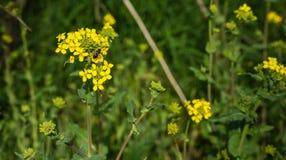 Abeja que visita el charlock floreciente amarillo Imagen de archivo