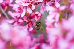 Abeja que vota al enano rosado de la almendra de la flor en el jardín, tiempo de primavera Fotografía de archivo libre de regalías