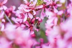 Abeja que vota al enano rosado de la almendra de la flor en el jardín, tiempo de primavera Imagen de archivo libre de regalías