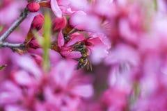 Abeja que vota al enano rosado de la almendra de la flor en el jardín, tiempo de primavera Imagen de archivo