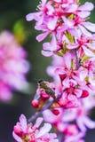 Abeja que vota al enano rosado de la almendra de la flor en el jardín, tiempo de primavera Fotos de archivo libres de regalías