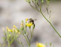 Abeja que vuela de una flor amarilla Fotografía de archivo