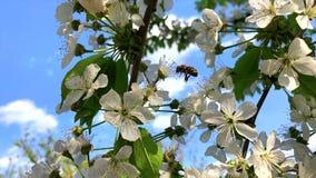 Abeja que vuela la cámara lenta, abeja en la flor blanca de Cherry Tree almacen de metraje de vídeo