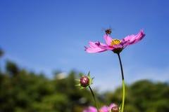 Abeja que vuela a la flor Imágenes de archivo libres de regalías