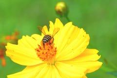 Abeja que vuela a la flor Fotografía de archivo