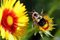 Abeja que vuela a la flor combinada Fotos de archivo libres de regalías