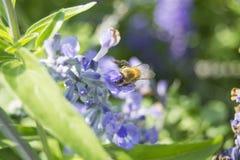 Abeja que vuela a la flor de la lavanda Foto de archivo libre de regalías