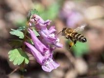 Abeja que vuela a la flor de la lila Fotografía de archivo libre de regalías