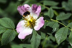 Abeja que vuela a la flor de la zarzamora Foto de archivo