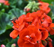 Abeja que vuela a la flor roja Fotografía de archivo