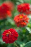 Abeja que vuela a la flor roja Imágenes de archivo libres de regalías