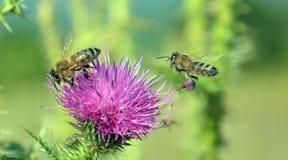 Abeja que vuela a la flor salvaje Foto de archivo libre de regalías