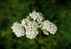 Abeja que vuela a las flores blancas Fotos de archivo libres de regalías