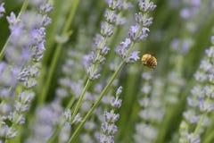 Abeja que vuela a las flores violetas Fotos de archivo