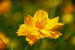 Abeja que vuela para amarillear la flor Fotografía de archivo libre de regalías