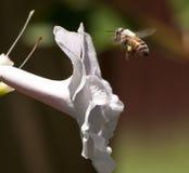 Abeja que vuela para picar la flor Imagen de archivo