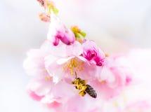 Abeja que vuela para picar las flores de cerezo Imágenes de archivo libres de regalías
