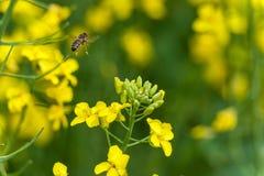 Abeja que vuela sobre el flor de la rabina Macro Foto de archivo libre de regalías