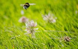 Abeja que vuela sobre la flor Foto de archivo libre de regalías