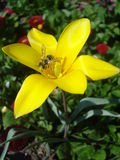 Abeja que vuela sobre la flor amarilla del tulipán Foto de archivo